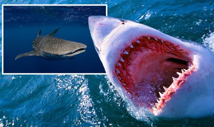 Shark breakthrough: Scientists name 'absolutely huge' beast bigger than great white shark