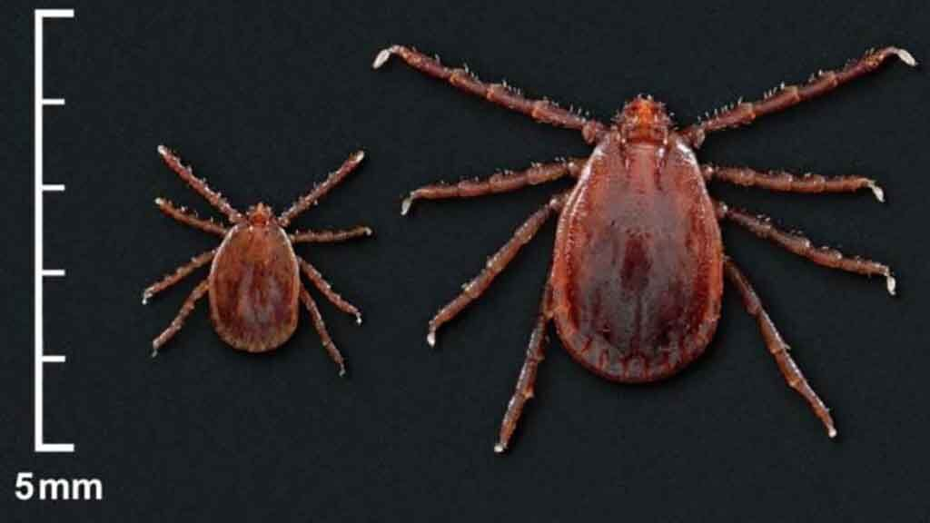 Two exotic tick species found in Rhode Island for the first time, officials say